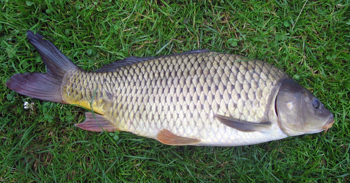 Feed Type Estimation Caused by Indonesian Common Carp Fish