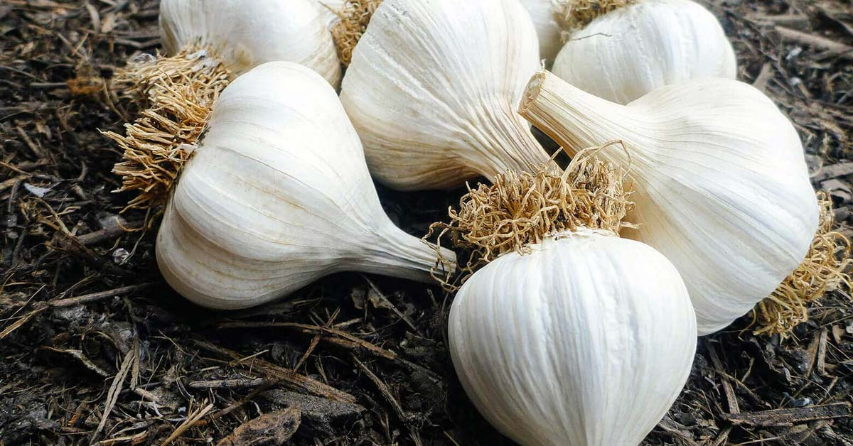 Garlic and sweet leaf water extracts affects Eggs Productivity