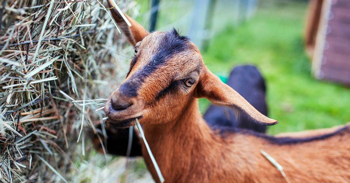 Feed Restriction Diet for Kacang Goat