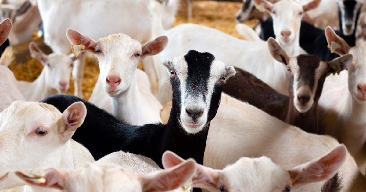High Proportion Concentrate with Tofu Waste in Dairy Goats