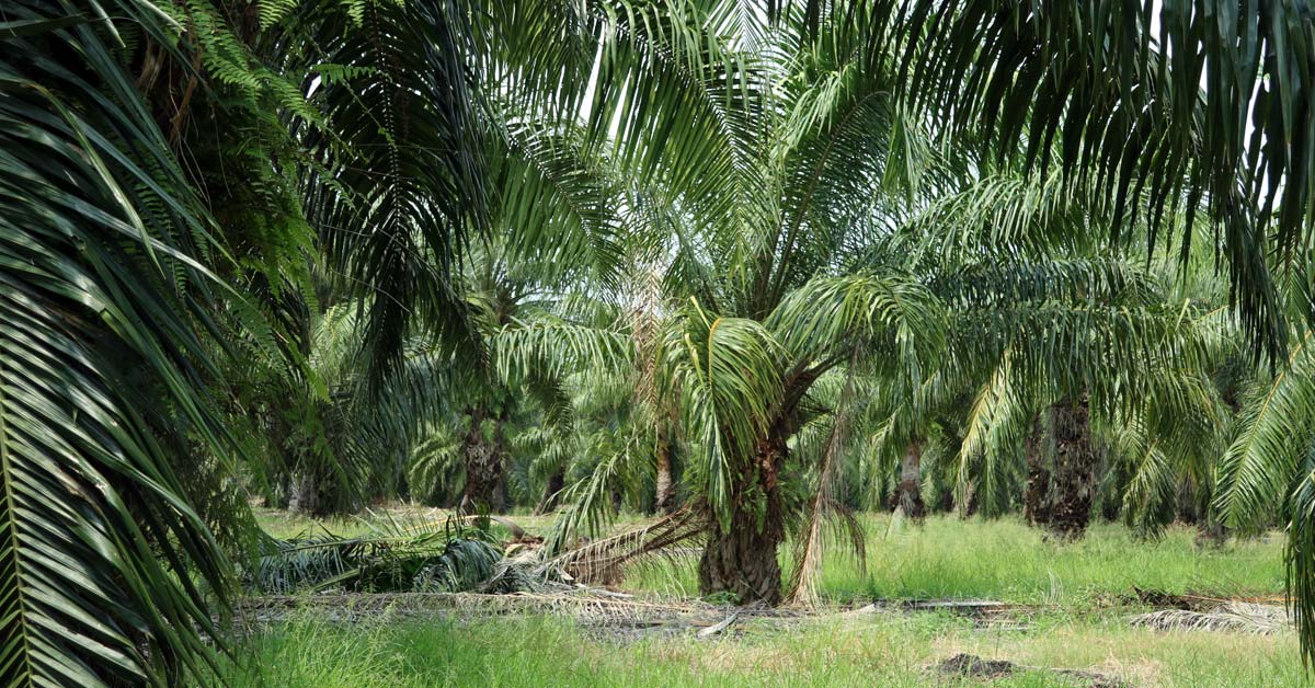 Oil Palm Fronds and Marsh Bristle Grass for Kaur Cattle Feed