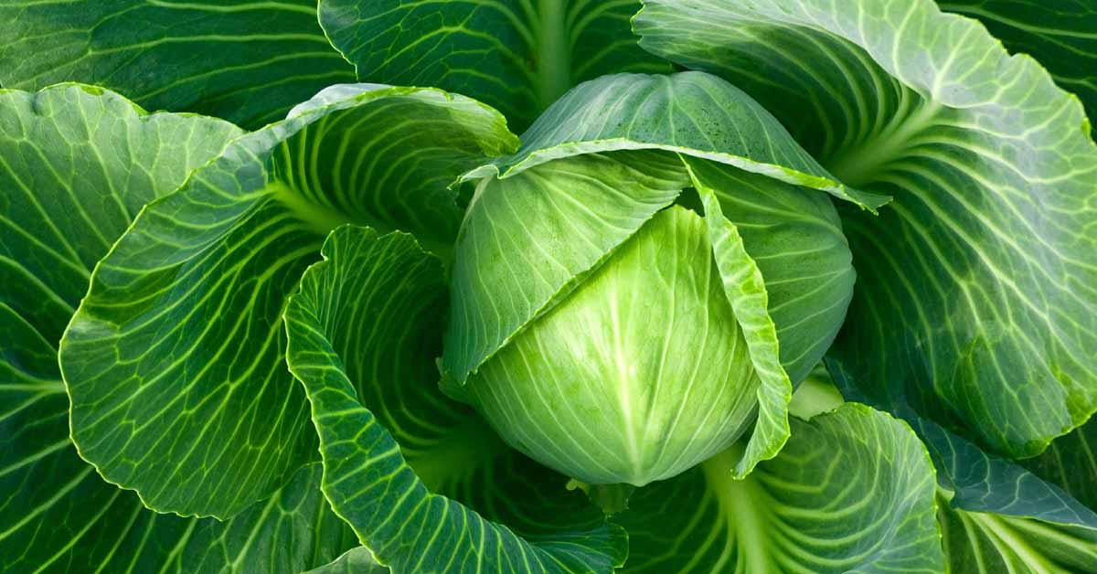 Physiochemical properties and packaging parameters for cabbage are closely related