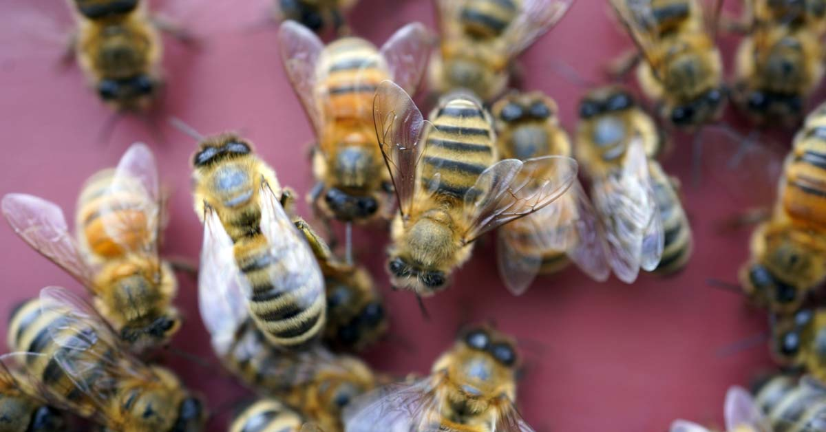 Bees are trained to detect COVID-19 within seconds