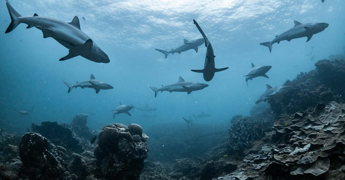 Sharks use the geomagnetic field to travel long distances